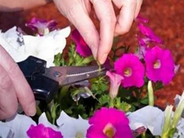Петуния Вейв Шок и Изи: особенности этих сортов, условия содержания и уход за ними, размножение этих цветов, а также возможные болезни и вредители
