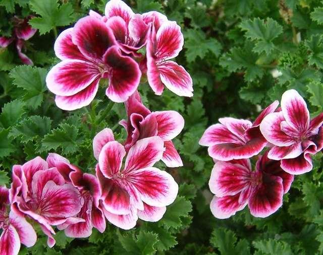 Герань белая: описание ее внешнего вида, популярные сорта цветка, где и как правильно посадить и ухаживать в домашних условиях, какие у нее есть вредители и болезни
