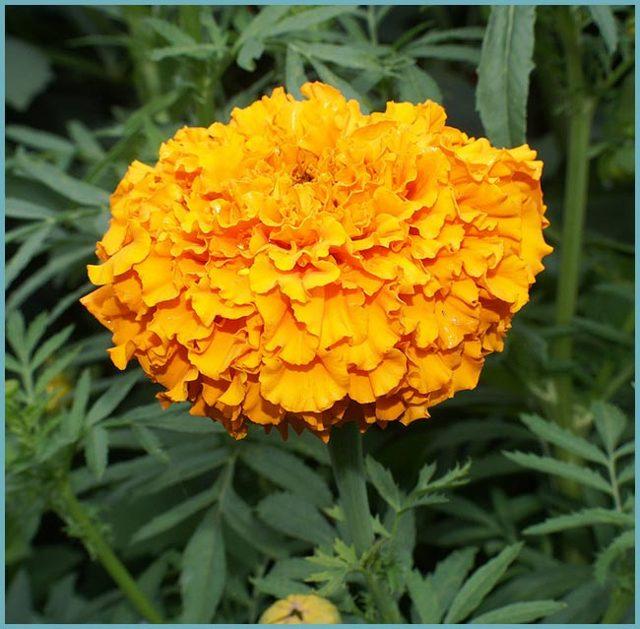 Бархатцы: посадка и уход в открытом грунте, фото цветка, условия содержания и возможные проблемы чернобривцев