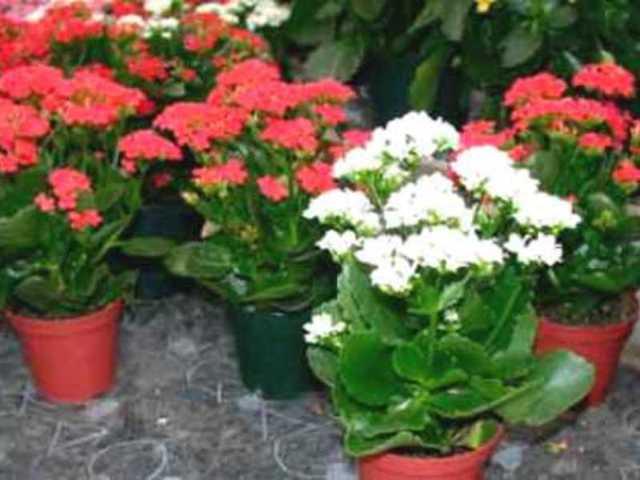 Каланхоэ лечебное: описание видов и фото цветка, уход и размножение этого растения