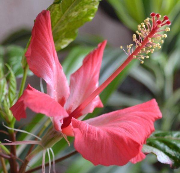 Гибискус Купера: ботаническое описание пестролистного сорта и фото, уход в домашних условиях, особенности размножения, болезни и вредители, похожие цветы