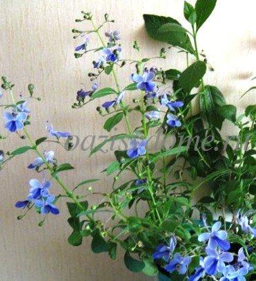 Клеродендрум: уход в домашних условиях с фото, как правильно содержать комнатный цветок и когда лучше обрезать?