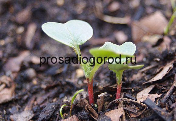 Нужно ли замачивать семена редиса перед посадкой в открытый грунт, что надо делать, как можно правильно провести подготовку, чтобы овощ быстро взошел после посева?