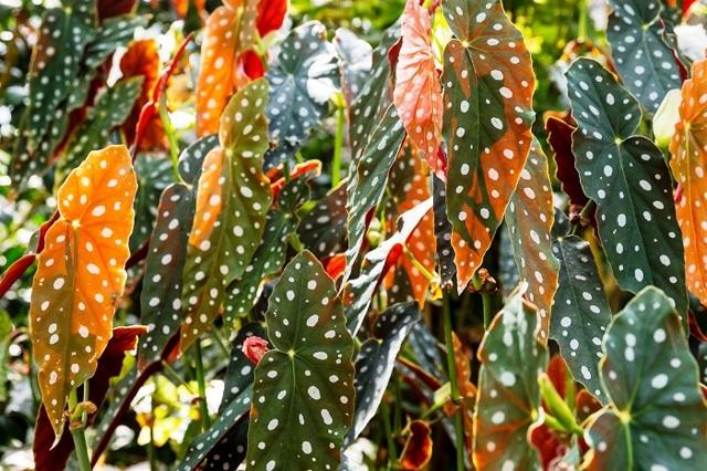 Бегония кораллина (комнатные растения): описание внешнего вида, посадка и уход, размножение цветка, а также болезни и вредители