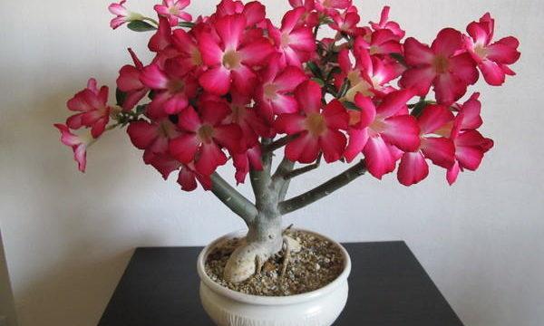Адениум Арабикум: описание и фото растения, а также уход и размножение в домашних условиях, какие возможны болезни у цветка