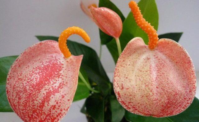 Антуриум Шерцера: ботаническое описание, сорта