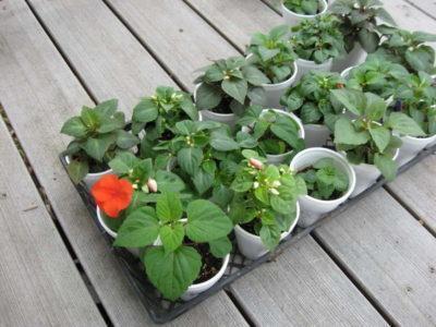 Бальзамин: размножение в домашних условиях и способы его пересадки из комнатной атмосферы на улицу, а также какой нужен уход
