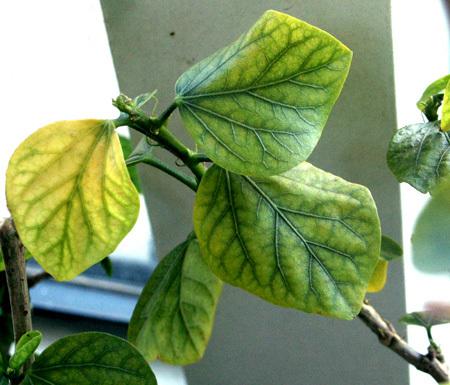 Розовый гибискус: описание и фото разновидностей растения подобного цвета, особенности размножения и ухода в домашних условиях, болезни и вредители