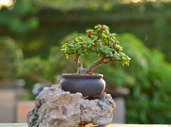 Эхеверия (succulent Еcheveria): описание, фото суккулента, лечебные свойства, кактус ли это, также отличие цветка от молодило и можно ли держать в домашних условиях