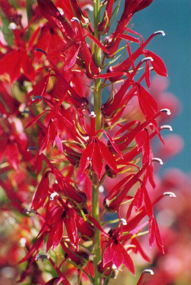 Лобелия многолетняя: посадка и уход, фото и описание вида ласточкино гнездо, красный вулкан и других, а также особенности выращивания в открытом грунте