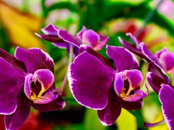 Как посадить орхидею из Вьетнама луковицей: названия видов цветка и их фото, а также, как правильно вырастить это растение из клубня в домашних условиях?