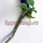 cемена антуриума, в том числе из Китая: как выглядят на фото, что надо знать о размножении цветка, чтобы вырастить в домашних условиях, каким образом сажать?
