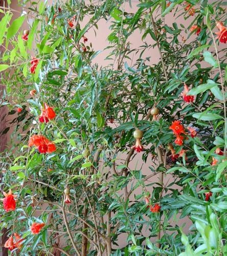 Карликовый гранат: фото, уход за декоративным деревцем в домашних условиях, а также как вырастить красивый бонсай на подоконнике из сортов Нана, Карфаген и других?