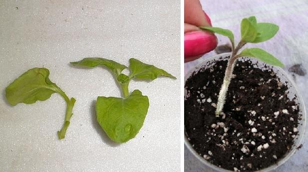 Размножение петунии: способы, как это сделать, а также уход после процедуры