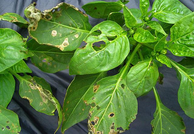 Тля на перце: как избавиться от вредителя, чем обработать растение, какие народные средства, химические и биологические препараты применять?