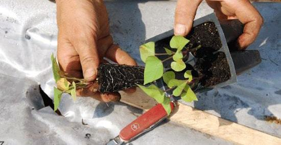 Выращивание сладкого картофеля – батата, основы агротехники и ухода: как его вырастить в средней полосе и в Сибири, как обеспечить размножение декоративного овоща?