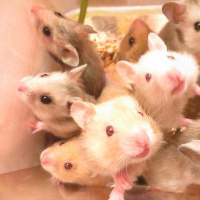 Можно ли редиску морским свинкам, джунгарским и сирийским хомякам, улиткам ахатинам, крысам, собакам, попугаям, давать ли ботву декоративным кроликам?