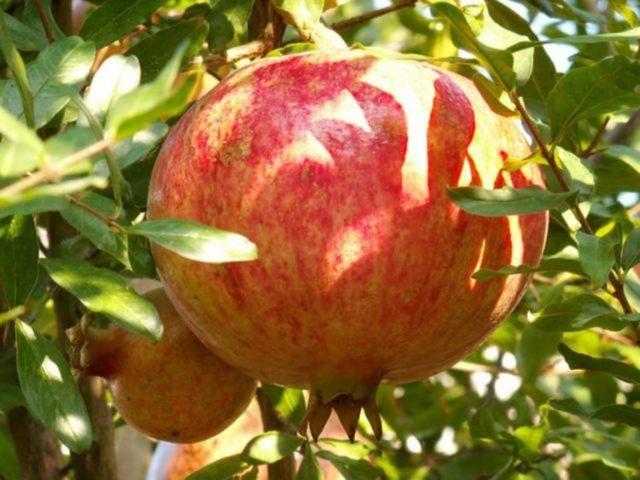 Когда созревает гранат, почему растение не всегда плодоносит, в какое время можно начинать собирать урожай и как это делать, а также популярные сорта культуры