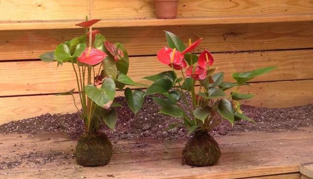 Коричневые пятна на листьях у антуриума: почему они появляются и сохнет крона цветка, а также что делать, чтобы спасти растение от этого недуга?