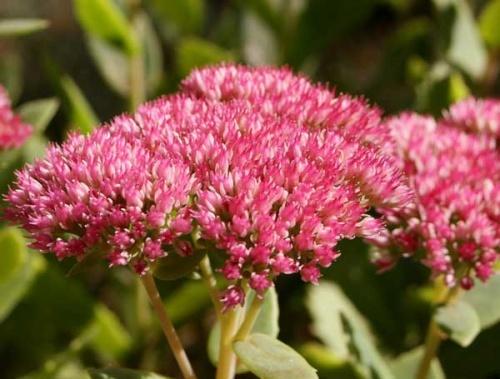 Очиток и все другие названия суккулента: седум (sedum), заячья капуста, скрипун, грыжная и лихорадочная трава, описание комнатного и садового растения, фото цветка