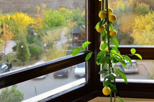 Как поливать лимон в домашних условиях в горшке, и в том числе в открытом грунте, а также чем правильно орошать дерево, и как часто нужно это делать зимой и летом?