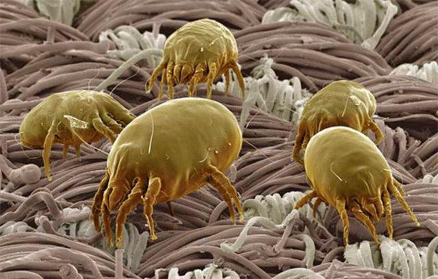 Клещ пылевой: фото того, как выглядят симптомы на коже и насекомые под микроскопом, какого размера эти существа, кусаются ли и как обнаружить в квартире и на теле?