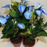 Болезни антуриума и его вредители: описание, фото и советы, как реанимировать растение, как проводить лечение и уход за цветком Мужское счастье в домашних условиях