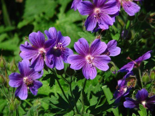 Герань Розанна: список самых популярных сортов, правила посадки, советы по  уходу и размножению, а также фото цветка