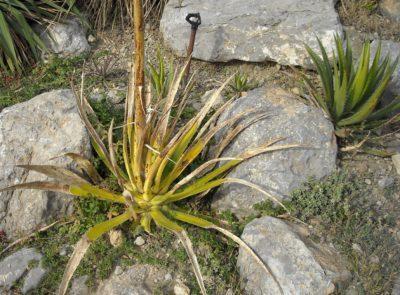 agave attenuata мексиканская: что это такое, а также названия и фото parryi, Королевы Виктории, deserti, Вильморена, stricta и других видов комнатного растения агавы