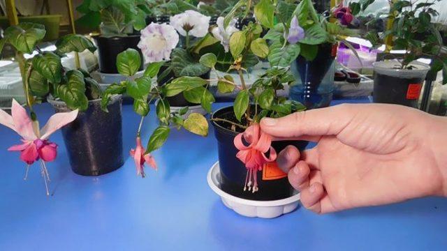 Как обрезать фуксию на зиму: когда правильно это делать, можно ли проводить процедуру осенью, чтобы было пышное цветение?