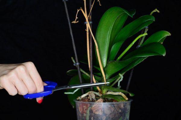 Почему сохнет орхидея: каковы причины потери влаги у цветоноса, стебля и других частей растения и что делать для того чтобы его оживить?