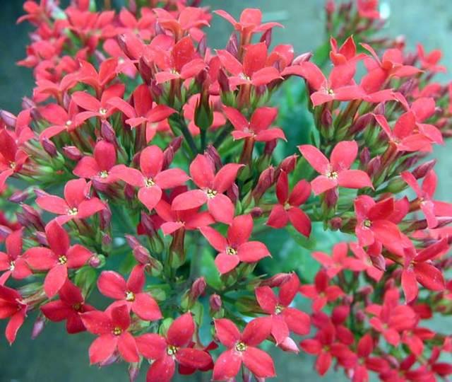 Желтое каланхоэ: всё о растении, фото сортов, правила ухода за цветком
