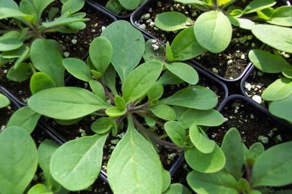Как вырастить рассаду петунии из семян в домашних условиях: когда сеять и правильно сажать в грунт, чем можно ее подкармливать, а также советы по уходу и фото