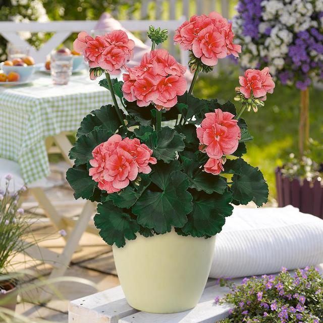 Как пересадить герань в другой горшок и как правильно выбрать размер емкости и грунт, а также выращивание цветка дома из черенков и уход за комнатным растением
