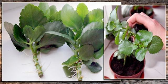 Каланхоэ перистое, белое, розовое и красное: фото и их описание, а также рекомендации по уходу за растением